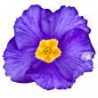 Royalty-Free Stock Photo: Blue blooming primrose primula polyanthus isolated on white