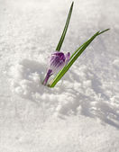 Crocuses flowers on snow white background — Stock Photo