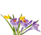 Crocus with narcissus bouquet isolated on a white background — Stock Photo