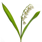 Lily of the Valley (Convallaria Majalis) isolated on white — Stock Photo