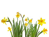 Springtime narcissus isolated on a white background — Stock Photo