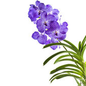 Blue orchid (vanda sansai blue) isolated on white — Stock Photo