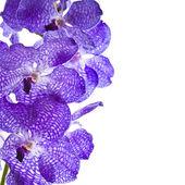 Border of orchid flower (vanda blue) isolated on white — Stock Photo
