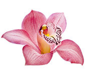 Pink Orchid flower on white background — Stock Photo