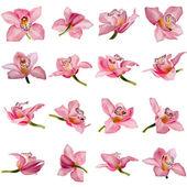 Hermosa flor rosa orquídea sobre fondo blanco — Foto de Stock
