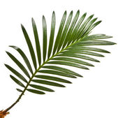 Green leaf of palm tree on white background — Stock Photo