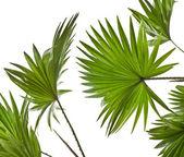 Green palm leaves (Livistona Rotundifolia palm tree) isolated on white background — Stock Photo