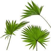Zielone liście palm (palma livistona rotundifolia) na białym tle — Zdjęcie stockowe