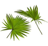 Green palm leaves (Livistona Rotundifolia palm tree) isolated on white background — Foto de Stock