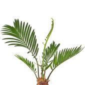 Palm tree on white background — Stock Photo