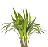 Chrysalidocarpus lutescens palm tree isolated on white — Zdjęcie stockowe