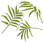 Howea palm tree leaf isolated on white — Stock Photo