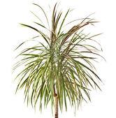 Dracaena palm plant, isolated on white — Stock Photo