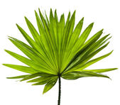 Green palm leaf (Livistona Rotundifolia palm tree) close up isolated on white background — Stock fotografie