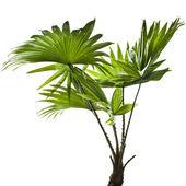 Border of green palm leaves (Livistona Rotundifolia palm tree) isolated — Foto de Stock