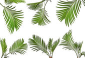 Leaves of palm tree on white background — Stock Photo