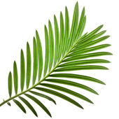 Green leaf of palm tree on white background — Стоковое фото