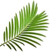 棕榈树在白色背景上的绿色叶 — 图库照片