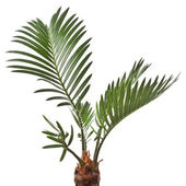 Young palm tree on white background — Stock Photo