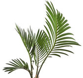 Palm leaves isolated on white — Stok fotoğraf