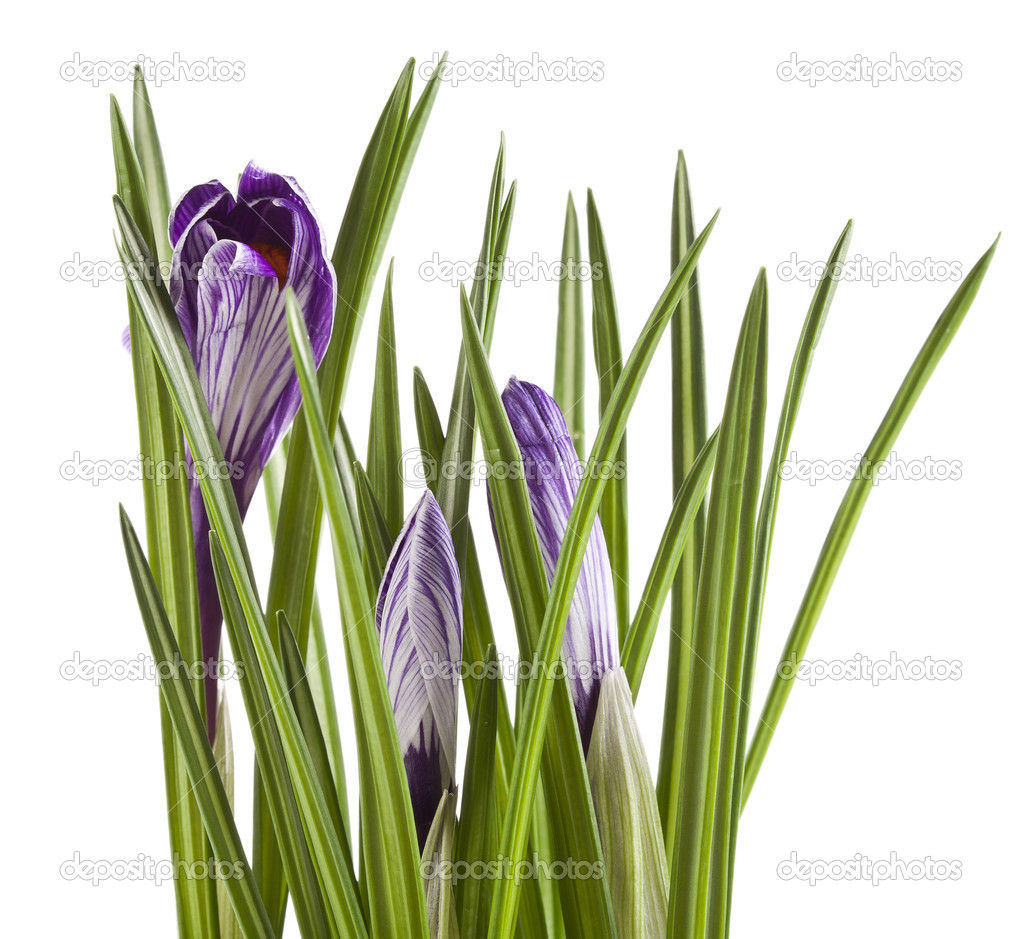 Crocus flowers isolated on a white background — Stock Photo #15803557