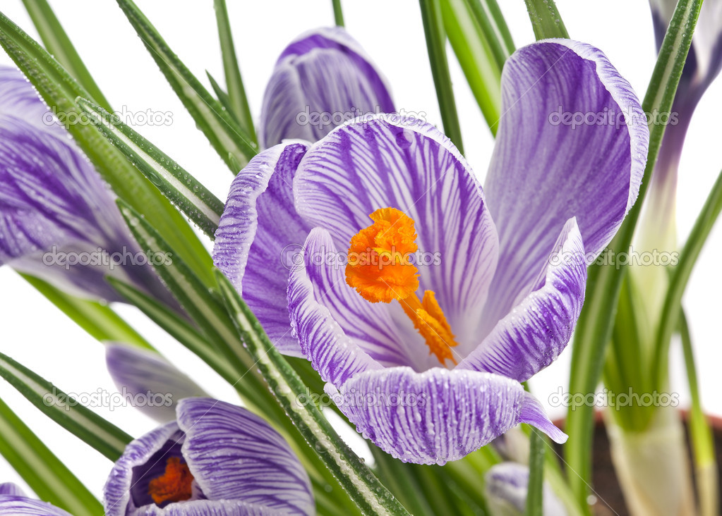 Crocus flowers isolated on a white background — Stock Photo #15803629