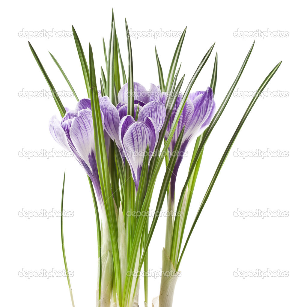 Crocus flowers isolated on a white background — Stock Photo #15803651