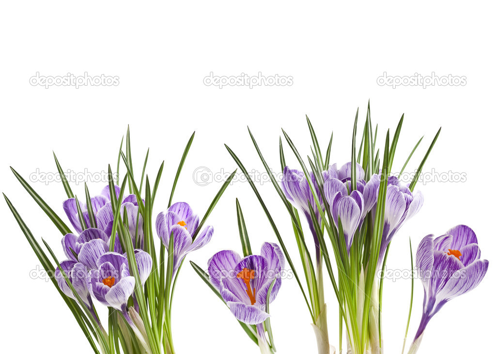 Crocus flowers isolated on a white background — Stock Photo #15803669
