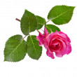 Pink rose isolated on a white — Stock Photo #15835693