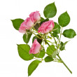Fresh pink roses border isolated on white background — Foto Stock