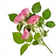 Stock Photo: Fresh pink roses border isolated on white background