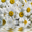 White chamomile reflected in water — Stock Photo #15838081