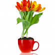 Tulips flowers in brown pot isolated on white background — Stock Photo #15839197