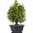 Juniper Conifer Sapling Tree in the pot isolated on white — Stock Photo #15839871