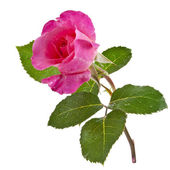 Pink rose isolated on a white — Stock Photo