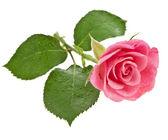 Flor rosa rosa isolado no fundo branco — Foto Stock