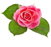 Pink rose flower isolated on white background — Stock Photo