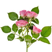 Fresh pink roses border isolated on white background — Stock Photo