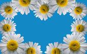 Decoration of chamomile flowers — Photo