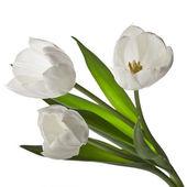 White tulips isolated on white — Stock Photo