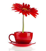 Red gerbera flowers in a cup with copyspace on white background — Stock Photo