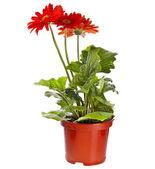 Gerbera blommor i en brun flower pot isolerad på vit bakgrund — Stockfoto