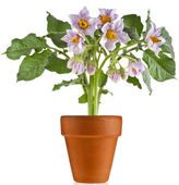 Bouquet flowers potato in flowerpot on white background — Stock Photo