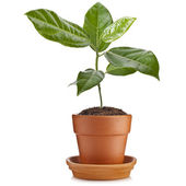 Young green seedling passiflora plant in clay flowerpot isolated on white — Stock Photo