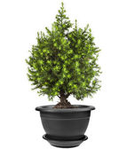 Juniper Conifer Sapling Tree in the pot isolated on white — Stock Photo