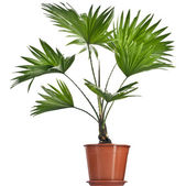 Livistona Rotundifolia palm tree in flowerpot isolated on white — Stock Photo