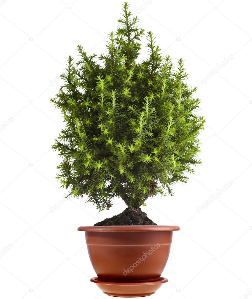 gen vrier de jeune arbre conif re dans le pot isol sur blanc photographie madllen 15839809. Black Bedroom Furniture Sets. Home Design Ideas