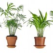 LivistonRotundifolia, Howea, Chrysalidocarpus lutescens, Cycas Palm Trees in flowerpot isolated on white background — Stock Photo #15840001