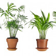 Stock Photo: LivistonRotundifolia, Howea, Chrysalidocarpus lutescens, Cycas Palm Trees in flowerpot isolated on white background