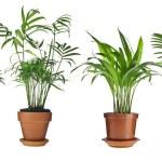 Livistona rotundifolia, howea, plantas Cannas, cycas palmeiras em vaso isolado no fundo branco — Foto Stock